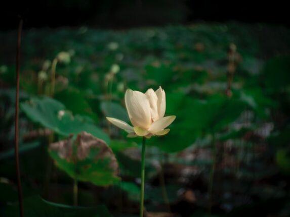 bung lili